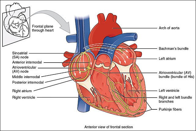 electrical-system-of-heart